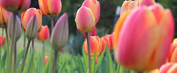 Populäre Und Vielfältige Gartenpflanzen Tulpen Im Garten Pflanzen