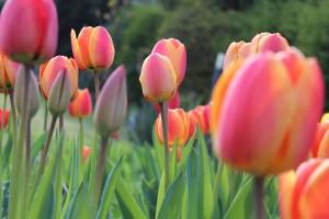 Tulpen - populäre und vielfältige Gartenpflanzen