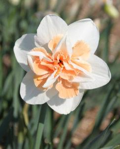 narzissen-sorten-einpflanzen-und-pflege